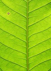 leaf texture ( mango leaf )