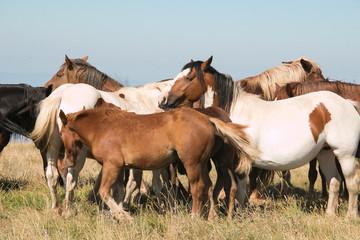 Gruppo di cavalli selvaggi in montagna