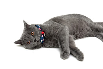gray cat wearing a collar with bow and jingle on a white backgro
