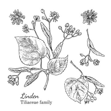 Ink linden herbal illustration. Hand drawn botanical sketch style. Absolutely vector. Good for using in packaging - tea, condinent, oil etc - and other applications