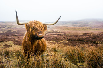 Poster Vache de Montagne scottish highland cow in field. Highland cattle. Scotland