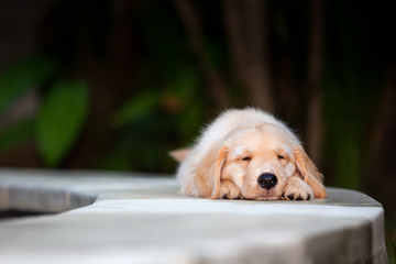 Funny photo of lazy little golden retriever labrador puppy lying stretched and relaxing. Training dogs, fun games and activities with family pet on summer vacations and weekends.