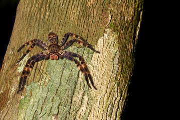 purple huntsman spider