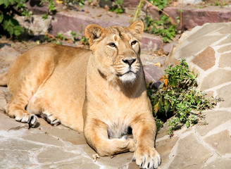 Lioness lying in the sun