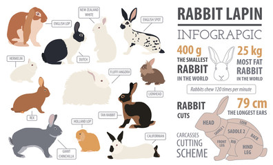 Rabbit, lapin breed infographic template. Flat design