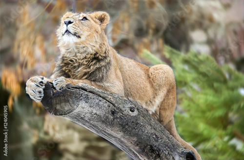 Young lion on the tree