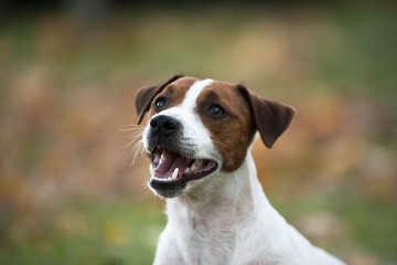 Happy smiling dog jack russell terrier