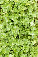 Bellflower (Campanula garganica) green leaves. Selective focus.