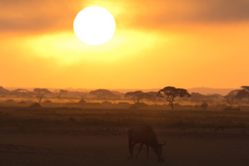 Sunset in Amboseli, Kenya. Silhouettes of gnu walking in front o