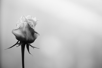 Monochrome Black and white blur and soft rose background