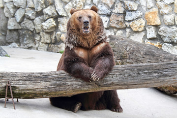 Brown bear sits with his paws on the tree