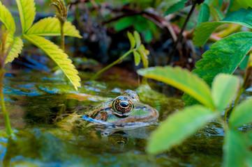 Bain de grenouille verte