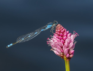 Damselfly on a pink flower; Ontario, Canada