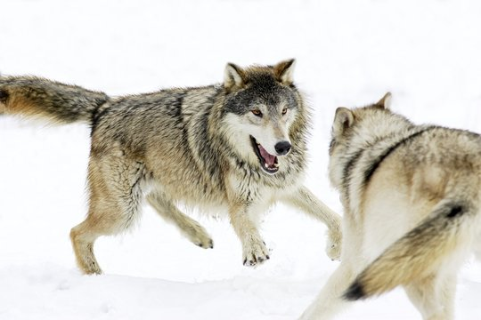 Aggressive Wolves