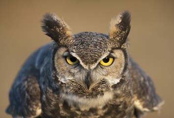 Portrait Of Great Horned Owl; Wyoming, Usa