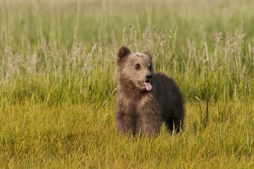 A Brown Grizzly Bear Cub (Ursus Arctos Horribilis); Alaska, United States Of America