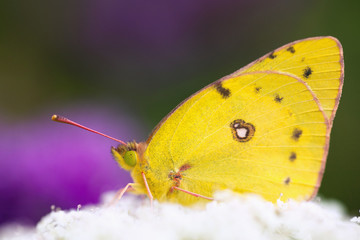 A Butterfly Sitting On White Flower Blossoms; Dundee, Ohio, United States of America