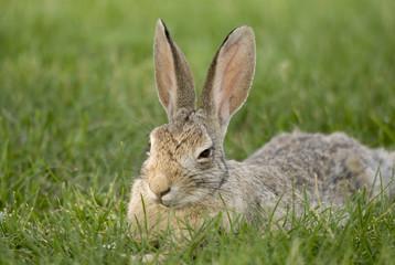 Rabbit Sitting On The Grass; South Dakota, United States of America