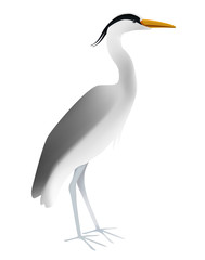 Vector illustration of grey heron on white background. Isolated standing light bird.