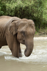 An Asian Elephant (Elephas Maximus) Standing In Shallow Water; Chiang Mai, Thailand