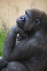 A Gorilla Sits In A Thinking Position With Chin Resting On The Top Of It's Hand; Calgary, Alberta, Canada