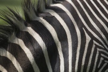 Close-Up Of Zebra's Stripes; Calgary, Alberta, Canada