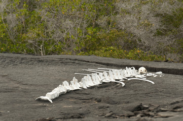 Skeleton Of A Large Marine Animal On The Sand; Galapagos, Equador