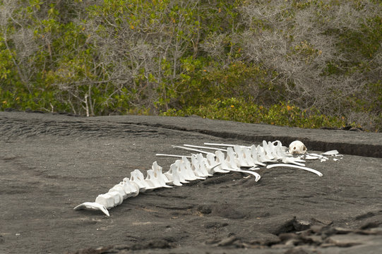 Skeleton Of A Large Marine Animal On The Sand; Galapagos, Equador