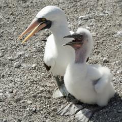 Nazca Booby (Sula Granti) And A Chick; Galapagos, Equador