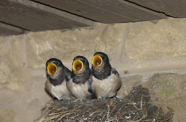 Three Baby Birds In A Nest With Mouths Open; Northumberland, England