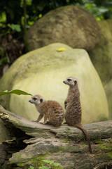 Two Meerkats (Suricata Suricatta) At The Singapore Zoo; Singapore