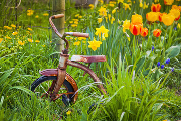 A Rusty Tricycle Sits In A Garden Of Colourful Spring Flowers; Vancouver Island, British Columbia, Canada