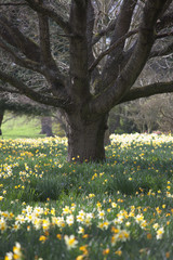 An Abundance Of Daffodils In Bloom Around The Base Of Trees; Hirsel, Scottish Borders, Scotland