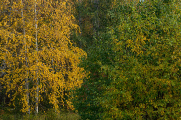 Background from yellow and green leaves on the trees. Lake Baikal shore, Russia.