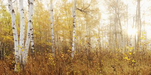 Birch Grove In Autumn; Thunder Bay, Ontario, Canada