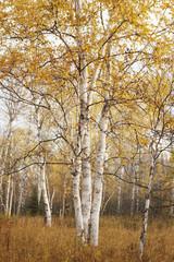 Birch Trees In Autumn; Thunder Bay, Ontario, Canada