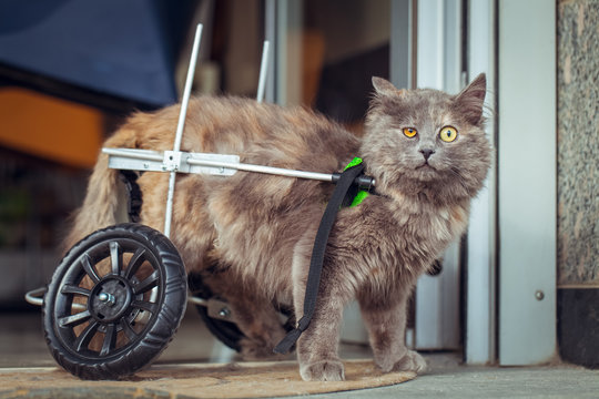 disabled | paralyzed cat with wheelchair