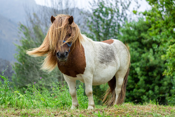 Beautiful Pony with long hair in the wild.  A pony is a small horse and they exhibit thicker manes, tails and shorter legs. Ponies are seen in many equestrian pursuits.