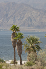 Palm Trees Along The Shoreline Of A Desert Lake With Mountain Range In The Distance; Palm Springs, California, United States of America