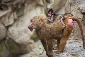 A Mother Baboon With Her Baby On Her Back At The Singapore Zoo; Singapore