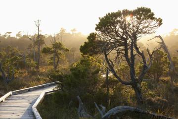 The Cedar Boardwalk Path In The Shorepine Bog Trail In Pacific Rim National Park Near Tofino; British Columbia, Canada