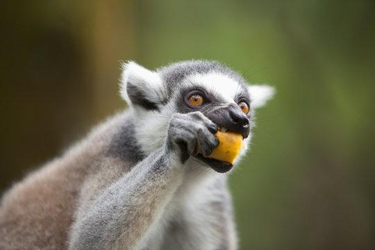 A Ring-Tailed Lemur (Lemur Catta) Eats Fruit In The Singapore Zoo; Singapore