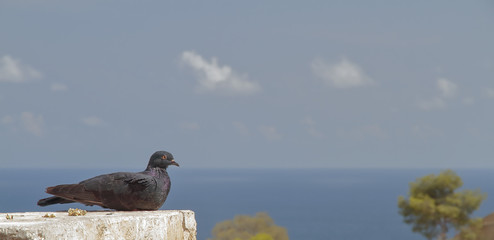 pigeon posing with the sea in the background