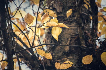 yellow leaves in fall on a tree branch