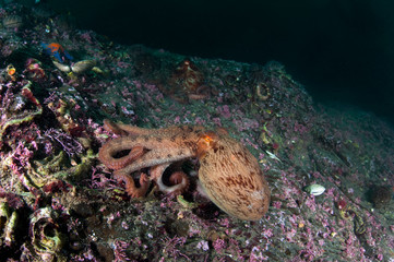 Giant octopus on the rock
