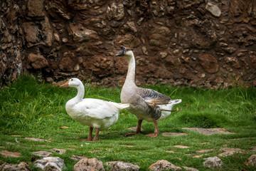 Farm goose and white goose
