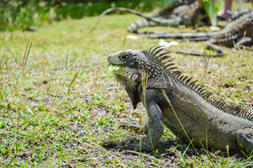 Iguana eating its food on the grass ground.