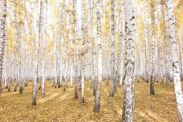 Garden Poster Birch Grove autumn birch forest