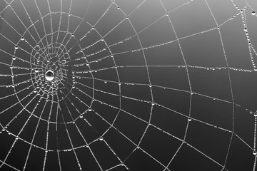 Cobweb in dew drops. Rain drops on a spiderweb. Black-white abstract background for halloween