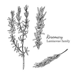 Ink rosemary herbal illustration. Hand drawn botanical sketch style. Absolutely vector. Good for using in packaging - tea, condinent, oil etc - and other applications